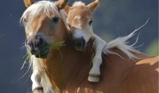 Comment adopter un cheval ?